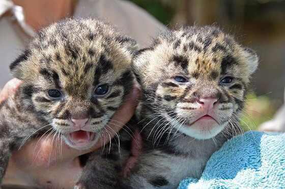 Baby Leopard Kittens