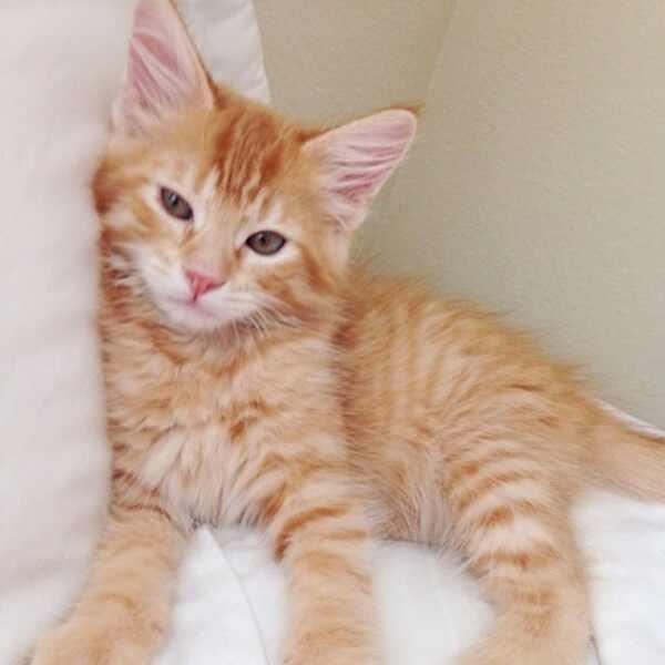 E!'s Cutest Cat, Gingervitis
