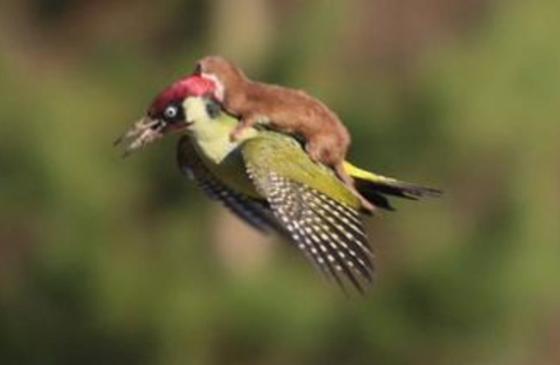 Fotógrafo flagra furão pegando carona em cima de pica-pau