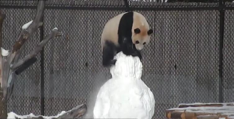 Este oso panda representa perfectamente tu espíritu Grinch -porque sabemos que tienes uno- (+ Video)