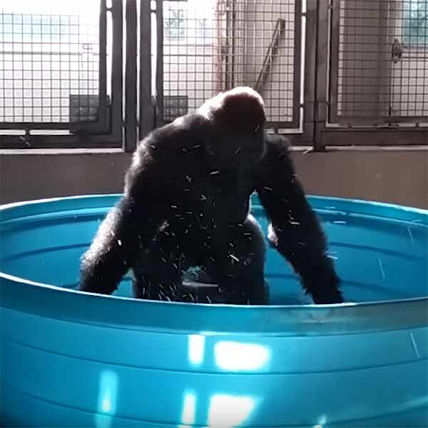 Zola the Gorilla