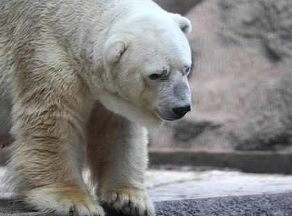Tristeza en Argentina por la muerte del oso polar Arturo