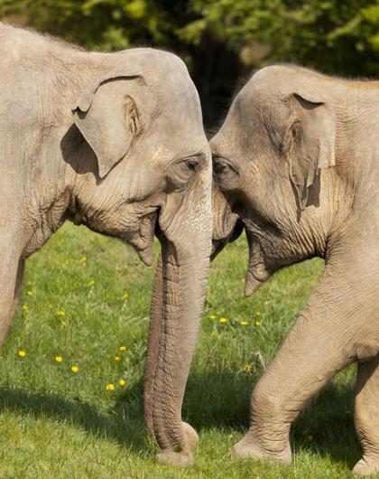 Cientista de Harvard manipula DNA de mamute em células de elefante